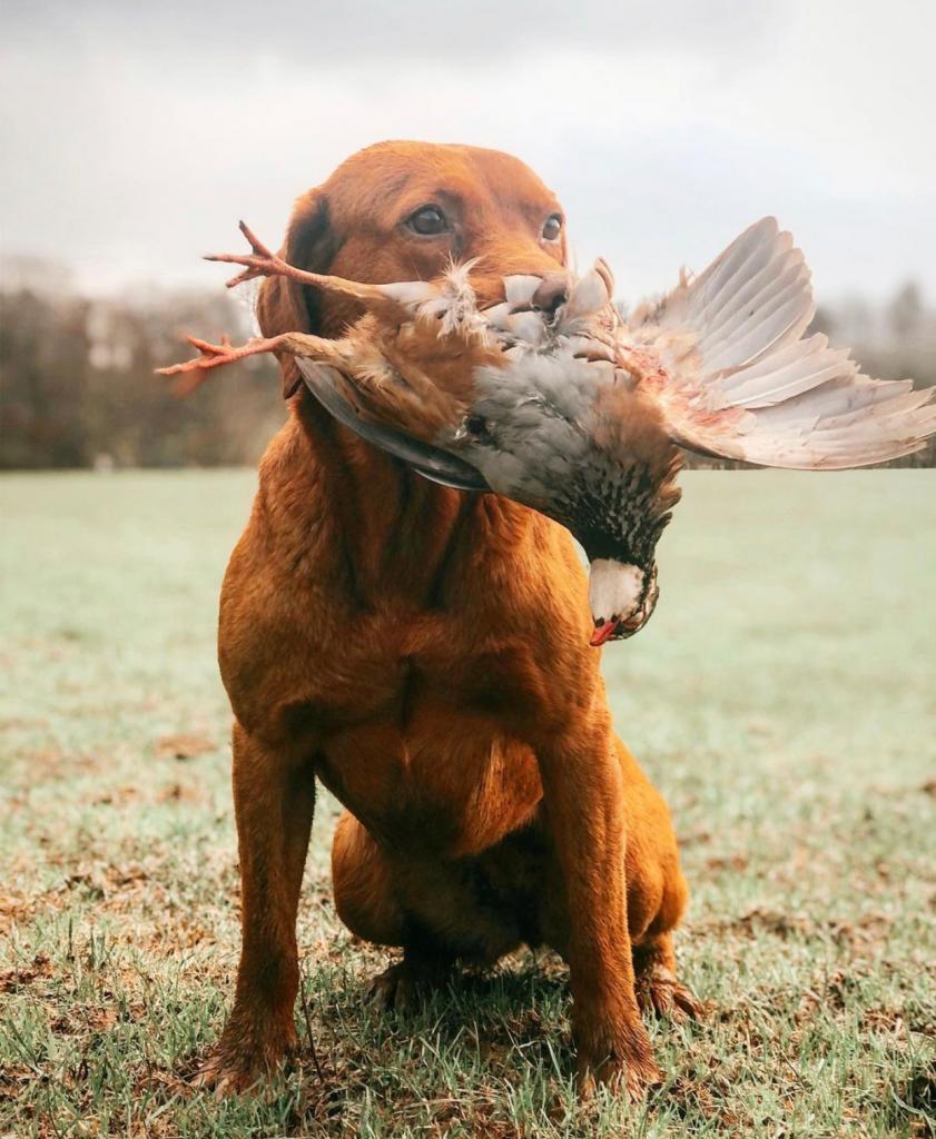 gundog with pheasant